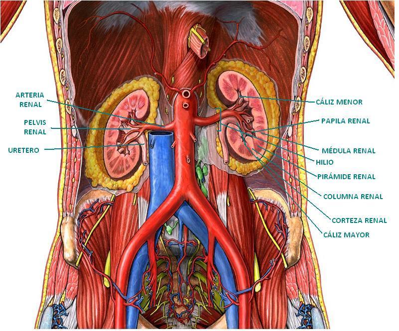 Encantador Diagrama De Los órganos Del Cuerpo Posterior De La Visión ...